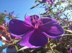 Tibouchina.  Princess flower