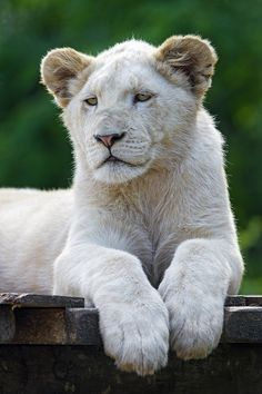 Young white lioness again