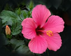 hibiscus :D