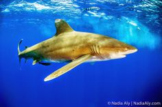 Meeting an Oceanic White Tip Shark up close at Cat Bay in the Bahamas.