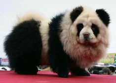 """The big craze happening in China right now is the """"panda dog."""" No, these are not a mix of a panda and a dog, but are actually a breed of dogs called chow chow that are groomed to look like pandas. Hsin Ch'en, a pet store owner in China, is… Panda Chow Chow, Perros Chow Chow, Dogue Du Tibet, Dog Hair Dye, Niedlicher Panda, Panda Puppy, Puppy Chow, Chow Puppies, Panda Bears"""