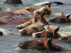 Wild pony swim at Chincoteague Island. The Pony Swim has occurred since The horses horses swim across the shallow waters between the Assateague (MD) and Chincoteague (VA) Islands. To go see this is on my bucket list. All The Pretty Horses, Beautiful Horses, Animals Beautiful, Cute Animals, Chincoteague Island, Chincoteague Ponies, Chincoteague Virginia, Horse Pictures, Animal Pictures