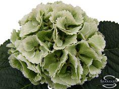 """Cut hydrangea flower """"Lollypop"""" (Green)"""