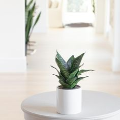 This compact Snake Plant features long leaves that grow in a rosette and boast alternating shades of green for added dimension. Like all Sansevieria, the Forest Star is as easy to care for as it gets. Shades Of Green, Green And Grey, Easy Care Indoor Plants, Plant Lighting, Snake Plant, Plant Sale, Terracotta Pots, Drought Tolerant, Low Lights