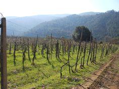 The wineyard of terra bianca year of plantation 1973