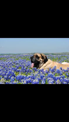 english mastiff in tax blue bonnets