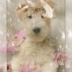 wire fox terriers   Tabitha, the wire fox terrier princess   Wildlife   Pinterest