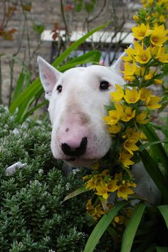 Spud, the English Bull Terrier, in the flowers - such characters! | Thomas Wood