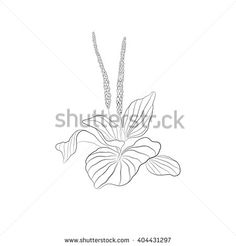 Flower of the plantain - stock vector