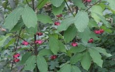 Širokolisna kurika (Euonymus latifolius (L.) Mill.) - large-leaved spindle