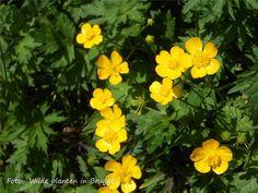 Scherpe boterbloem   Flickr - Photo Sharing!