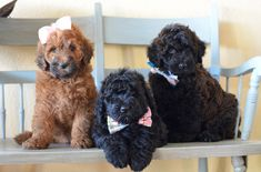 The Flandoodle is a cross between a purebred Bouvier des Flandres and Poodle.