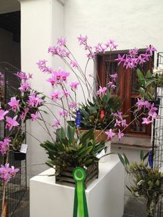 Laelia anceps at Mexico City orchid show.