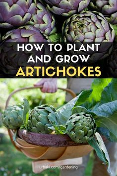 Edible Plants, Edible Flowers, Growing Artichokes, Artichoke Plants, Organic Mulch, Thistle Flower, Plant Information, Thistles, Replant