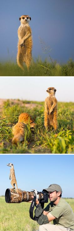 Photographer Will Burrard-Lucas talks about getting these amazing meerkat shots while visiting the Makgadikgadi Pans region of Botswana. More images and story when you click through.