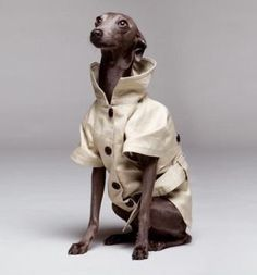 A gentledog dressed with Adolfo Dominguez trench!