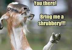 I hate clipping shrubbery for the goats . Funny Goat Memes, Funny Animal Memes, Funny Animal Pictures, Funny Animals, Cute Animals, Funny Goats, Animal Captions, Animal Pics, Fierce Animals