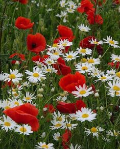 Poppies are always lovely for a cottage look. My Flower, Flower Power, Wild Flowers, Beautiful Flowers, Red Poppies, Red Roses, Daisy, Arte Floral, Dream Garden