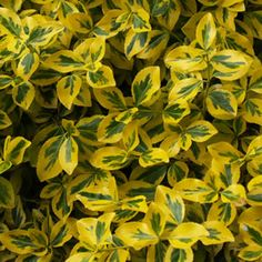 Image result for euonymus fortunei emerald and gold Emerald, Plant Leaves, Herbs, Landscape, Plants, Gold, Diy, Gardens, Landscaping