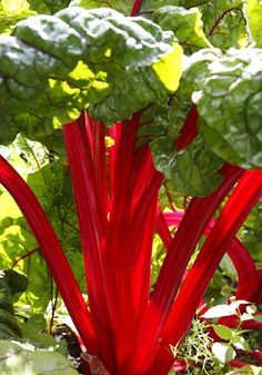 Which are the best rhubarb varieties to grow? - Telegraph