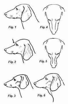Excellent site showing correct dachshund conformation with tons of sketches