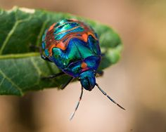 Cotton Harlequin Bug that has had his exoskeleton detailed by Lalique.