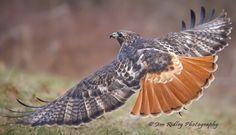 Red Tailed Hawk, Gods Creation, Raptors, Owl, Brighton, Michigan, Photography, Photograph, Owls