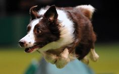 Image: A border collie performs a jump during the agility competition on the fourth day of Crufts dog show in Birmingham, England, on March 10 (© Carl Court/AFP/Getty Images) Pictures Of The Week, Dog Pictures, Animal Pictures, Agility Training For Dogs, Dog Agility, Rough Collie, Collie Dog, Jane Goodall, Big Dogs