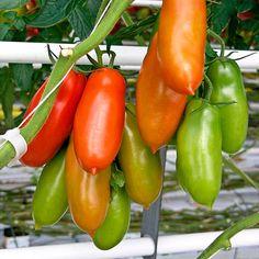 The Very Best Tomato for Pizza Sauce: Italian San Marzano Tomatoes Ingredient Spotlight