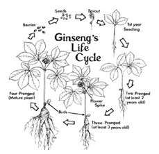 Ginseng's lifecycle