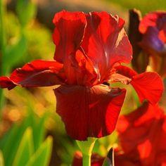 Красный ирис
