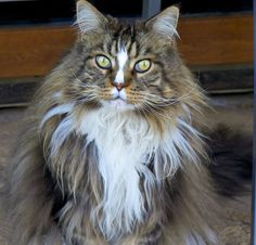 Beautiful Adult Maine Coon Cat, click on this picture to see just how beautiful this cat is.