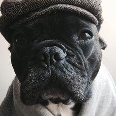 """G'mornin'"", French Bulldog"