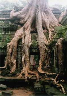 Buddhist temple in Cambodia built in the late 12th and early 13th century with silk-cotton tetramelaceae trees