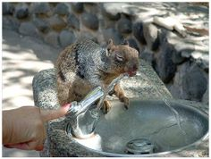 Everyone needs a helping hand  :-)  - KC Squirrel drinking from fountain