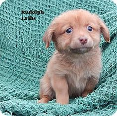 Gallatin, TN - Chihuahua/Pomeranian Mix. Meet Rudolph, a puppy for adoption. http://www.adoptapet.com/pet/14450455-gallatin-tennessee-chihuahua-mix