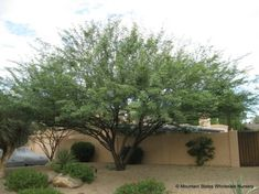 thornless mesquite/ planning for free SRP trees