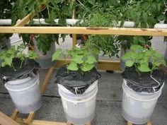 Instructions for 5 gallon bucket self watering containers. I used a jig saw instead of a hole saw (hole saw kept spinning the bucket!) and used found containers for the wicking basket, such as cottage cheese containers. Free buckets can be found at bakeries and restaurants and are food safe. I had fantastic success with lemon cuc's, green beans, peppers, sugar peas and grape tomatoes in this size container.