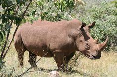 rinoceronts - Buscar con Google