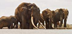 Photo of Satao the elephant in his prime.
