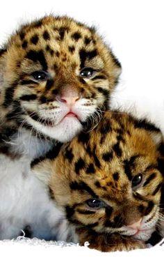 Leopard Cubs... OMW SOOOOOOOOOO CUTE!!!!!! :D <3