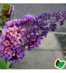 Sommerfuglebusk Flower Power Buddleia Davidii Flower Power I 2020 Sommerfuglebusk Planter Flower Power