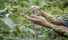 Sustainable Coffee Growing: The How's and Why's