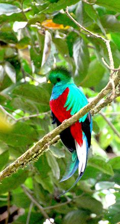 Resplendent Quetzal ... Bird of Paradise ,from the Rain Forests of Costa Rica...