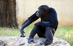 Chimpanzees can learn how to use tools without observing others