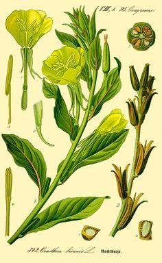 Evening primrose (Oenothera biennis) inconstancy