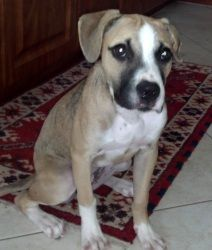 MINDY BOXER is an adoptable Boxer Dog in Fort Lauderdale, FL. MEET MINDY This pretty little gal was picked up as a stray - and an owner never surfaced. She had ahematoma removed from her ear but that...