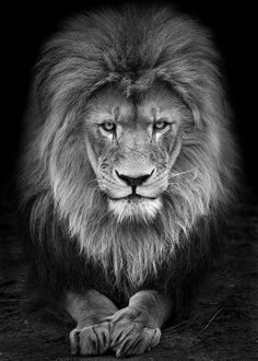 21 Intense Portraits Of Zoo Animals Like You've Never Seen Them Before : Lion Animals And Pets, Cute Animals, Zoo Animals, Grand Chat, Leo Quotes, Lion Wallpaper, Lion Pictures, Leo Lion, Lion Of Judah