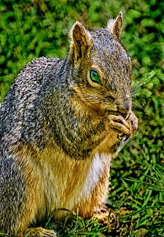 Squirrels belong to family Sciuridae of small or medium-size rodents. The family includes tree squirrels, ground squirrels, chipmunks, marmots (including woodchucks), flying squirrels, and prairie dogs. Squirrels are indigenous to the Photo