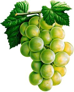 This high quality free PNG image without any background is about grape, berry, grapes, fruit, green grapes and food. Watercolor Fruit, Fruit Painting, Fabric Painting, Fruit Illustration, Food Illustrations, Botanical Illustration, Fruit And Veg, Fruits And Veggies, Food Clipart